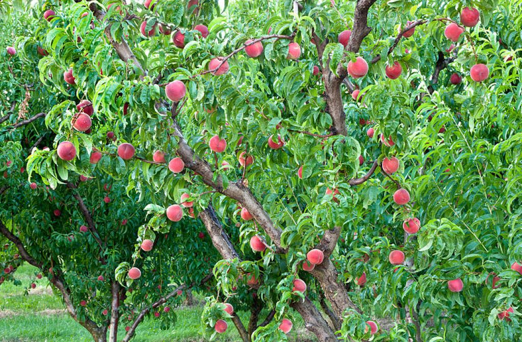 5 Amazing Fertilizers for Fruit Trees to Grow the Juiciest Fruits