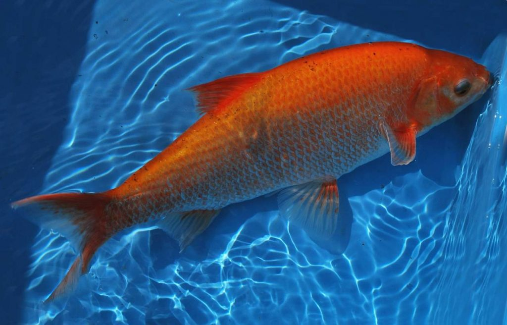 Best Pond Fish - Make The Right Choice