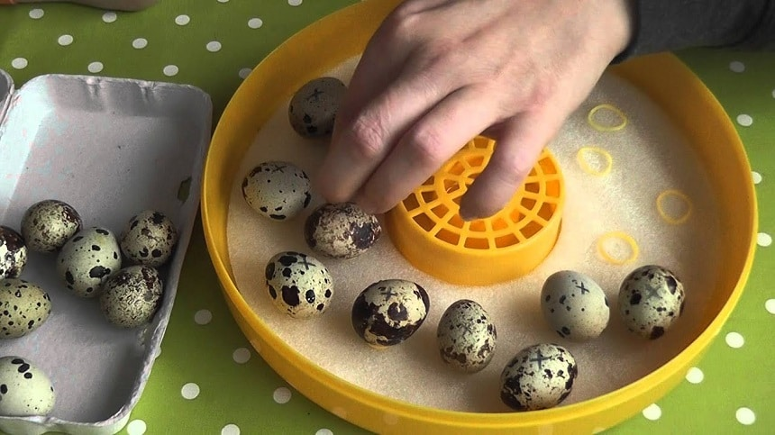 5 Best Quail Egg Incubators - No Further Worries About Hatching