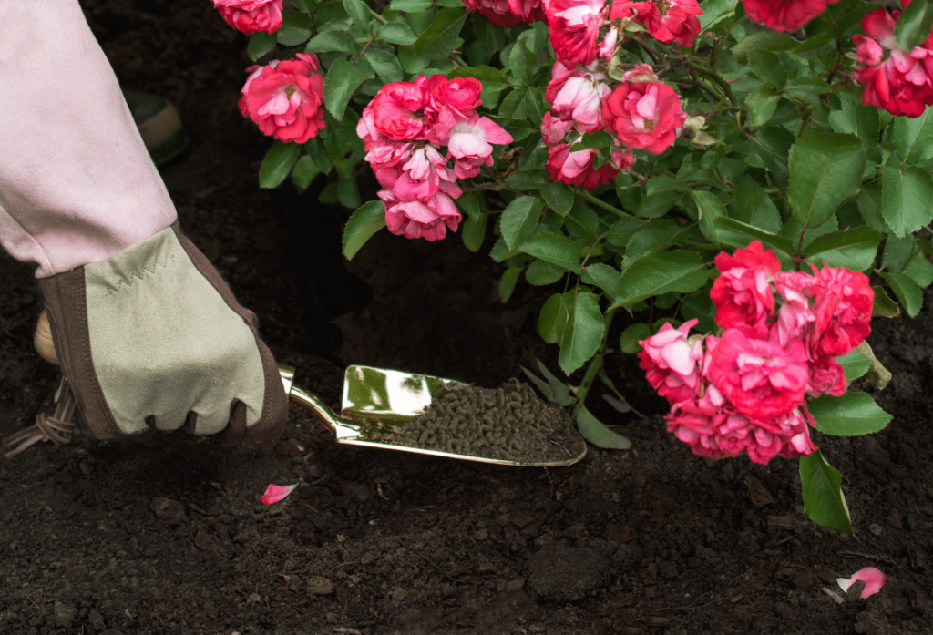 5 Amazing Fertilizers for Roses to Grow the Most Beautiful Flowers