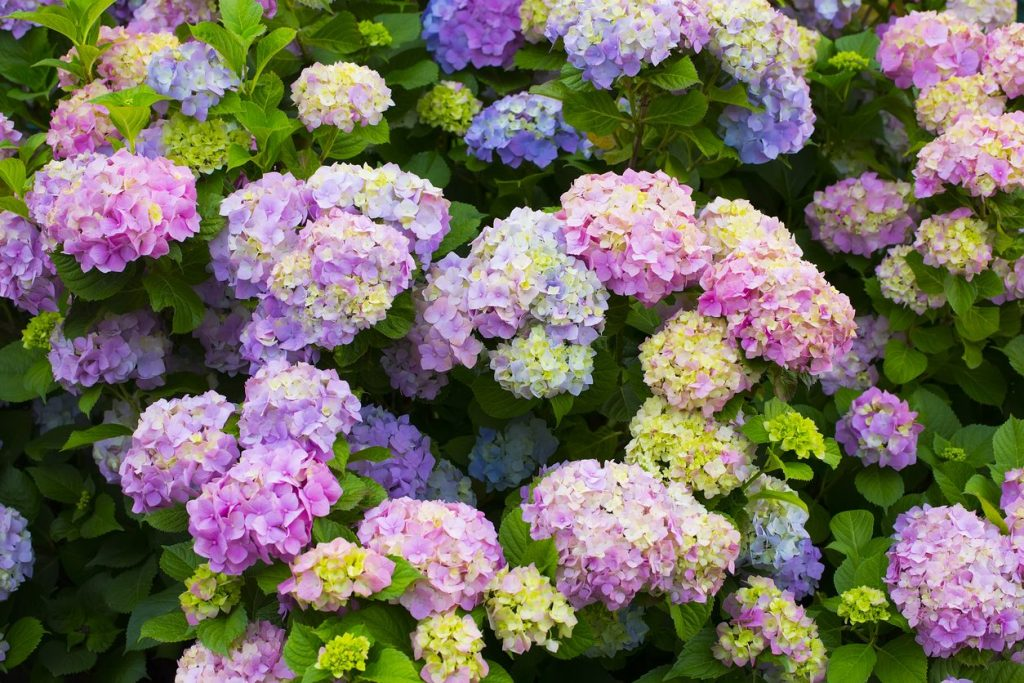 5 Wonderful Fertilizers for Hydrangeas - Perfect Blooms Every Time