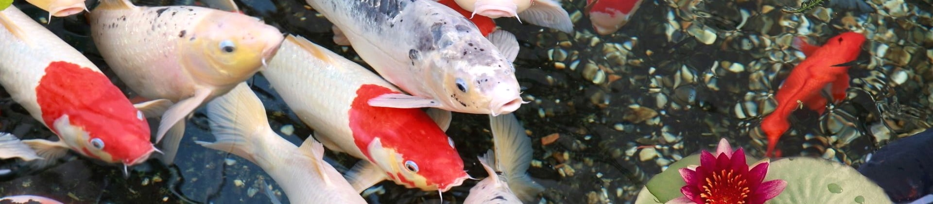 Best Pond Fish – Make The Right Choice