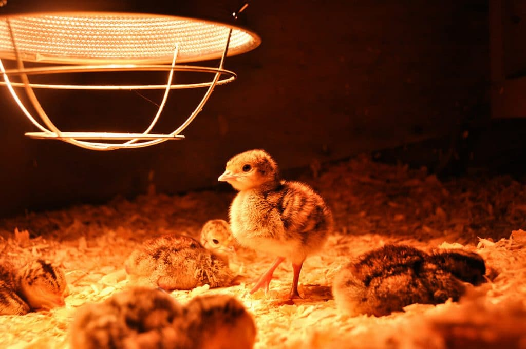 5 Best Chicken Coop Heaters - Don't Fear Winter Any Longer