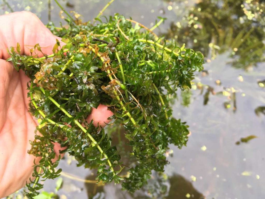 How to Control Pond Weeds