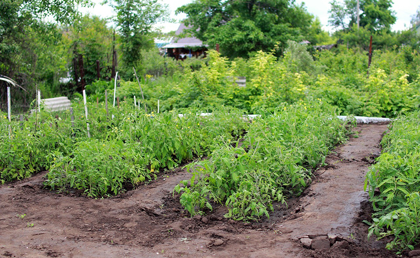 How to Prepare Soil for Tomatoes to Get the Best Harvest